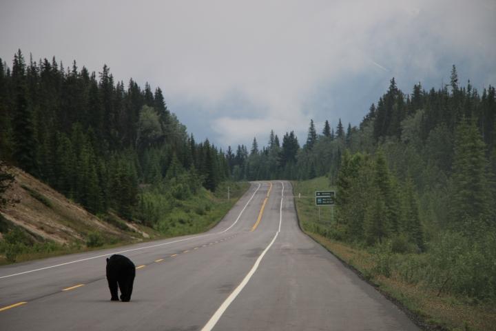 Notre road trip des Rocheuses Canadiennes àYellowstone